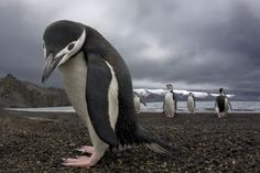 Penguins, When a male is sweet on a female, he searches the entire beach to find the perfect pebble to present to her. When he finally finds it, he waddles over and presents the stone by placing it at her feet. If she accepts, they'll be life-long mates.