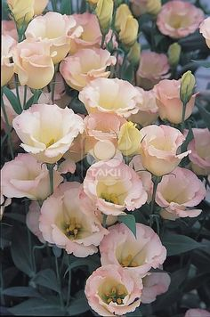 Points You Should Know Prior To Obtaining Bouquets Lisianthus Eustoma Champagne Lisianthus Flowers, Blush Flowers, All Flowers, Beautiful Flowers, Wedding Flowers, Flower Farm, Types Of Flowers, Planting Flowers, Flower Arrangements