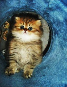 Tiny Persian Kitten pictures