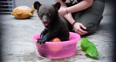 Pictures Of Smudge, a 4-month-old Black Bear Cub in China.