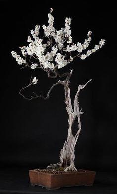 Bonsai almendro - prunus dulcis