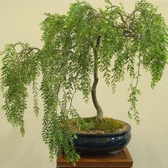 weeping willow bonsai. nice specimen for an interesting bonsai