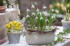 Galanthus ( Schneegloeckchen ) in grauer Schale mit Kranz aus Zweigen von Betula ( Birke ), Eranthis ( Winterlinge )