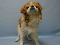★8/5/15 HE'S STILL THERE!!★SUPER URGENT 7/30/15★ Brooklyn Center FELIX – A1045913 ***AURAL MASS*** MALE, RED / WHITE, PEKINGESE, 5 yrs STRAY – ONHOLDHERE, HOLD FOR ID Reason STRAY Intake condition EXAM REQ Intake Date 07/30/2015