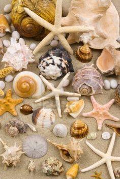 Summer fun - finding shells on the beach. Shell Beach, Ocean Beach, Shell Collection, Coral, I Love The Beach, Am Meer, Sea Creatures, Starfish, Strand