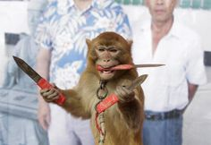 A monkey catches knives as it balances on a board during a daily training session at a monkey farm in Baowan village, Xinye county of China�s central Henan province, February 2, 2016. Baowan village of China�s central Henan province appears to be your average farming community from the surface, but at a closer look, one can hear monkey hoots from every direction.