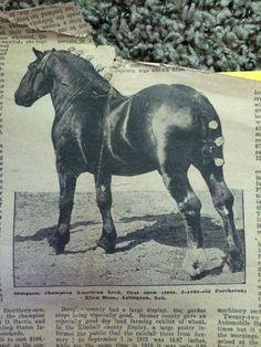 Courtesy of Pamela Hagrman. Uploaded by Diane Blanzy. Percheron stallion, Sampson.