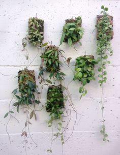 Epiphytic wall plaques look like tiny swatches of flora cut from the heart of the jungle. Hoya, Dischidia and Peperomia plant specimens, rooted to a touch of moss, vine and cascade from a piece of cor