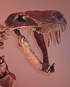Gorgon proto-mammal  -- houston museum of natural science USA