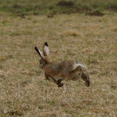 Rabbit Run, Jack Rabbit, Rabbit Sculpture, March Hare, British Wildlife, Art Poses, Forest Animals, Pet Birds, Kangaroo