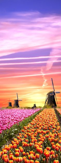 #Windmills and tulips at #sunrise - #Netherlands   -   http://dennisharper.lnf.com/