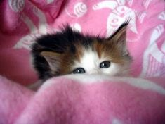 Cozy Kitten wrapped in Pink and White blanket.