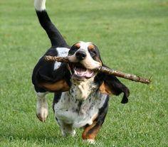<3 basset hounds