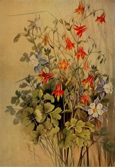 Columbine and Long-spurred Columbine. Illustration by Ellis Rowan taken from 'A Guide to the Wild Flowers' (1899)by Alice Lounsberry. http:...