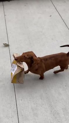 A Funny Doxie Dog Delivering McDonalds Food 10 Reasons Dachshunds Are The Funniest Dogs If you are a dachshund owner, you must be familiar with funny moments or lovely activities your sausage dogs do. Dachshund Funny, Dachshund Puppies, Weenie Dogs, Dachshund Love, Funny Dogs, Cute Puppies, Cute Dogs, Daschund, Dachshunds