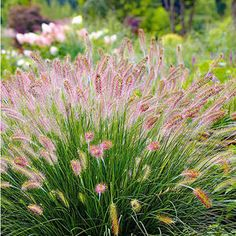 """5 great grasses for small gardens - Lamp cleaner grass """"Hameln"""", 3 plants - Amazing Gardens, Beautiful Gardens, Beautiful Flowers, Fall Plants, Foliage Plants, Garden Care, Small Garden Lamps, Sun Loving Plants, Herbs Indoors"""