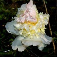 Silkepæoner (Lactiflora)