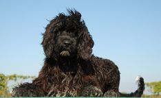 Le chien d'eau portugais