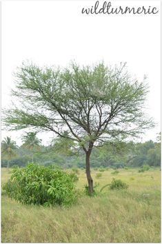 Acacia Arabica Indian Gum Tree Trees Landscaping Plants