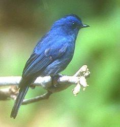 Nilgiri Flycatcher   India