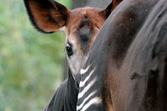 Senseless Killings in a Congolese Wildlife Reserve - Wildlife Conservation Society Wildlife Conservation Society, Okapi, Most Beautiful Animals, Rare Animals, Media Images, Lions, Exotic, Creatures, Horses