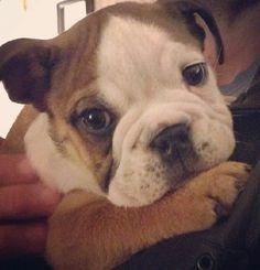 English Bulldog puppy=]