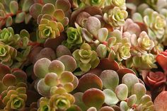 Sedum tetractinum 'Coral Reef' makes a good groundcover, thanks to its fast growth rate. The trailing stems also make it a choice hanging plant. In milder climates such as the Pacific Northwest, it can be used on greenroofs. Image: Brent Horvath