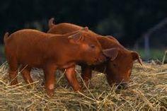 Duroc Piglets! My favorite breed!