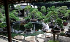 Shunkaen Nursery / Kobayashi-san feeding his trained koi fish