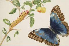 Maria Sibylla Merian - Cassava root with Garden Tree Boa, Sphinx Moth and Treehopper Morpho Butterfly, Butterfly Art, Butterflies, Sibylla Merian, Royal Collection Trust, Caribbean Art, Gcse Art, Garden Trees, Flower Images