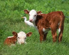 My grandfather raised Hereford beef cattle. Cute Baby Cow, Baby Cows, Cute Cows, Farm Animals, Animals And Pets, Cute Animals, Cow Pictures, Animal Pictures, Cow Photos