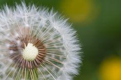 Free Image: Half-Naked Flower Blowball/Dandelion | Download more on picjumbo.com!