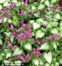 Hopeatäpläpeippi maanpeitekasvi kukkii koko kesän, varjoisa piha. Lamium Beacon Silver