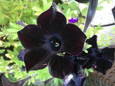 Black velvety flower