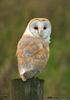 """barn owl, pale in color, long winged and short square tail, wing span can be 30-45 inches, most recognizable by it's """"mask like face"""", all have black and white  and light brown with dark rings"""