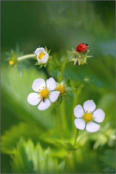 Ladybug on my Strawberries The Basket Bike Girl®
