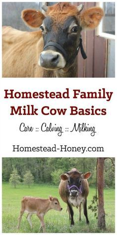 Do you want to bring a family milk cow to your homestead? Start here for a collection of resources and information all about homestead dairy cows. | Homestead Honey: