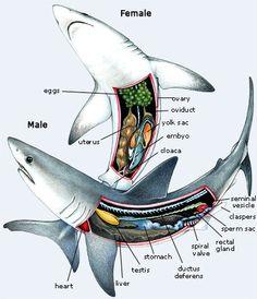 The anatomy of sharks Shark Facts, Ocean Unit, Animal Science, Underwater Life, Marine Biology, Great White Shark, Animal Facts, Ocean Creatures, Shark Week