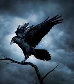 Fav bird - Raven