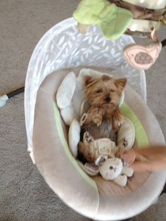 Yorkie, Yorkshire Terrier, Dog