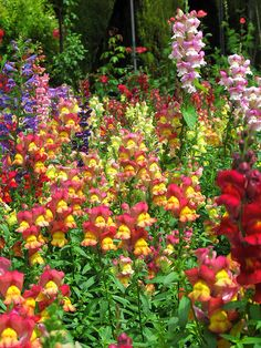 Snapdragons, a cottage garden favourite. Shade Garden, Garden Plants, My Secret Garden, Flower Beds, Dream Garden, Garden Inspiration, Beautiful Gardens, Garden Landscaping, Perennials