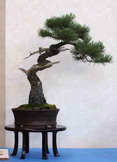 Bonsai with a windswept look