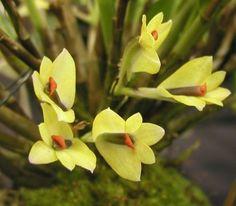 Dendrobium vexillarius var vexillarius