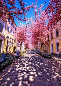 Bonn, Germany - cherry blossom season