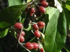 The Autumn Olive has Nitrogen Fixing capabilities and when planted with fruit trees is said to increase the overall yield of the orchard by 10% whilst themselves producing a yield of delicious berries.  We have used this plant as an understory shrub on a south facing edge in our forest garden and within an edible hedge