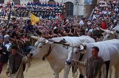 Corteo storico del Palio dell'Assunta 2008. Il Carroccio: buoi e bovari. Foto tratta dal sito http://palio.be/