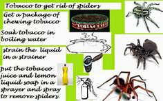 SEEING SPIDERS: USING TOBACCO AS A NATURAL REMEDY TO GET RID OF SPIDERS IN THE HOUSE