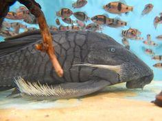Blue Eyed Pleco Blue Eyed Pleco Beautiful Tropical Fish, Beautiful Fish, Animals Of The World, Animals And Pets, Pleco Fish, Plecostomus, Monster Fishing, Deep Sea Creatures, Freshwater Aquarium Fish