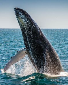 Catch an impromtu performance in #Alaska. #AlaskaCruise #Whale #Whalewatching