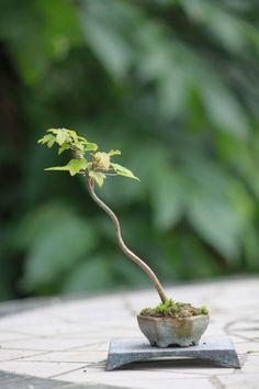 Kunekune bonsai | ultra mini bonsai blog